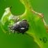 Straubliukas - Rhinoncus pericarpius | Fotografijos autorius : Romas Ferenca | © Macrogamta.lt | Šis tinklapis priklauso bendruomenei kuri domisi makro fotografija ir fotografuoja gyvąjį makro pasaulį.