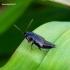 Tachinus laticollis - Trumpasparnis | Fotografijos autorius : Romas Ferenca | © Macrogamta.lt | Šis tinklapis priklauso bendruomenei kuri domisi makro fotografija ir fotografuoja gyvąjį makro pasaulį.