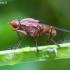 Sraigžudė - Tetanocera sp. ? | Fotografijos autorius : Romas Ferenca | © Macrogamta.lt | Šis tinklapis priklauso bendruomenei kuri domisi makro fotografija ir fotografuoja gyvąjį makro pasaulį.