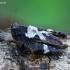 Ilgaūsis šokliukas - Tetrix tenuicornis  | Fotografijos autorius : Romas Ferenca | © Macrogamta.lt | Šis tinklapis priklauso bendruomenei kuri domisi makro fotografija ir fotografuoja gyvąjį makro pasaulį.
