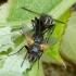 Dygliamusė - Zophomyia temula | Fotografijos autorius : Romas Ferenca | © Macrogamta.lt | Šis tinklapis priklauso bendruomenei kuri domisi makro fotografija ir fotografuoja gyvąjį makro pasaulį.