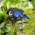 Tritomegas bicolor - Baltadėmė urvablakė   Fotografijos autorius : Romas Ferenca   © Macrogamta.lt   Šis tinklapis priklauso bendruomenei kuri domisi makro fotografija ir fotografuoja gyvąjį makro pasaulį.