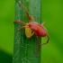 Erkė - Trombidium sp. | Fotografijos autorius : Romas Ferenca | © Macrogamta.lt | Šis tinklapis priklauso bendruomenei kuri domisi makro fotografija ir fotografuoja gyvąjį makro pasaulį.
