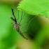 Culex sp. - Tikrasis uodas | Fotografijos autorius : Romas Ferenca | © Macrogamta.lt | Šis tinklapis priklauso bendruomenei kuri domisi makro fotografija ir fotografuoja gyvąjį makro pasaulį.