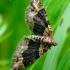 Xanthorhoe ferrugata - Rūdžiajuostė cidarija | Fotografijos autorius : Romas Ferenca | © Macrogamta.lt | Šis tinklapis priklauso bendruomenei kuri domisi makro fotografija ir fotografuoja gyvąjį makro pasaulį.