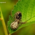 Xysticus cristatus - Paprastasis krabvoris | Fotografijos autorius : Romas Ferenca | © Macrogamta.lt | Šis tinklapis priklauso bendruomenei kuri domisi makro fotografija ir fotografuoja gyvąjį makro pasaulį.
