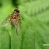 Mydaea corni - Tikramusė | Fotografijos autorius : Deividas Makavičius | © Macrogamta.lt | Šis tinklapis priklauso bendruomenei kuri domisi makro fotografija ir fotografuoja gyvąjį makro pasaulį.