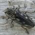 Didysis blizgiavabalis - Chalcophora mariana | Fotografijos autorius : Deividas Makavičius | © Macrogamta.lt | Šis tinklapis priklauso bendruomenei kuri domisi makro fotografija ir fotografuoja gyvąjį makro pasaulį.