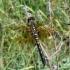 Leucorrhinia albifrons - Baltakaktė skėtė | Fotografijos autorius : Deividas Makavičius | © Macrogamta.lt | Šis tinklapis priklauso bendruomenei kuri domisi makro fotografija ir fotografuoja gyvąjį makro pasaulį.