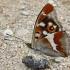 Apatura iris - Kilnioji vaiva | Fotografijos autorius : Deividas Makavičius | © Macrogamta.lt | Šis tinklapis priklauso bendruomenei kuri domisi makro fotografija ir fotografuoja gyvąjį makro pasaulį.