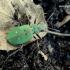 Cicindela campestris - Žaliasis šoklys | Fotografijos autorius : Deividas Makavičius | © Macrogamta.lt | Šis tinklapis priklauso bendruomenei kuri domisi makro fotografija ir fotografuoja gyvąjį makro pasaulį.