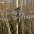 Epitheca bimaculata - Dvidėmė skėtė | Fotografijos autorius : Deividas Makavičius | © Macrogamta.lt | Šis tinklapis priklauso bendruomenei kuri domisi makro fotografija ir fotografuoja gyvąjį makro pasaulį.