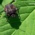 Graphosoma lineatum - Juostelinė skydblakė | Fotografijos autorius : Deividas Makavičius | © Macrogamta.lt | Šis tinklapis priklauso bendruomenei kuri domisi makro fotografija ir fotografuoja gyvąjį makro pasaulį.