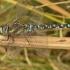 Aeshna mixta - Rudeninis laumžirgis | Fotografijos autorius : Nomeda Vėlavičienė | © Macrogamta.lt | Šis tinklapis priklauso bendruomenei kuri domisi makro fotografija ir fotografuoja gyvąjį makro pasaulį.