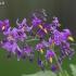 Karklavijas - Solanum dulcamara | Fotografijos autorius : Nomeda Vėlavičienė | © Macrogamta.lt | Šis tinklapis priklauso bendruomenei kuri domisi makro fotografija ir fotografuoja gyvąjį makro pasaulį.