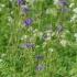 Mėlynasis palemonas - Polemonium caeruleum | Fotografijos autorius : Nomeda Vėlavičienė | © Macrogamta.lt | Šis tinklapis priklauso bendruomenei kuri domisi makro fotografija ir fotografuoja gyvąjį makro pasaulį.