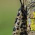 Mėlynsparnė apsiuva - Semblis phalaenoides | Fotografijos autorius : Nomeda Vėlavičienė | © Macrogamta.lt | Šis tinklapis priklauso bendruomenei kuri domisi makro fotografija ir fotografuoja gyvąjį makro pasaulį.