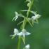 Žalsvažiedė blandis - Platanthera chlorantha | Fotografijos autorius : Nomeda Vėlavičienė | © Macrogamta.lt | Šis tinklapis priklauso bendruomenei kuri domisi makro fotografija ir fotografuoja gyvąjį makro pasaulį.