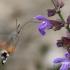 Macroglossum stellatarum - Ilgaliežuvis sfinksas | Fotografijos autorius : Nomeda Vėlavičienė | © Macrogamta.lt | Šis tinklapis priklauso bendruomenei kuri domisi makro fotografija ir fotografuoja gyvąjį makro pasaulį.