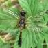 Leucorrhinia caudalis - Grakščioji skėtė | Fotografijos autorius : Nomeda Vėlavičienė | © Macrogamta.lt | Šis tinklapis priklauso bendruomenei kuri domisi makro fotografija ir fotografuoja gyvąjį makro pasaulį.