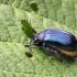 Agelastica alni - Mėlynasis alksniagraužis   Fotografijos autorius : Valdimantas Grigonis   © Macrogamta.lt   Šis tinklapis priklauso bendruomenei kuri domisi makro fotografija ir fotografuoja gyvąjį makro pasaulį.