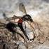 Tanyptera atrata - Ilgakojis uodas   Fotografijos autorius : Valdimantas Grigonis   © Macrogamta.lt   Šis tinklapis priklauso bendruomenei kuri domisi makro fotografija ir fotografuoja gyvąjį makro pasaulį.