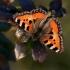 Aglais urticae - Dilgėlinukas   Fotografijos autorius : Valdimantas Grigonis   © Macrogamta.lt   Šis tinklapis priklauso bendruomenei kuri domisi makro fotografija ir fotografuoja gyvąjį makro pasaulį.