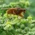Geltonoji mėšlamusė - Scathophaga stercoraria | Fotografijos autorius : Rasa Gražulevičiūtė | © Macrogamta.lt | Šis tinklapis priklauso bendruomenei kuri domisi makro fotografija ir fotografuoja gyvąjį makro pasaulį.