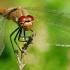 Sympetrum sanguineum - Kruvinoji skėtė | Fotografijos autorius : Gediminas Gražulevičius | © Macrogamta.lt | Šis tinklapis priklauso bendruomenei kuri domisi makro fotografija ir fotografuoja gyvąjį makro pasaulį.