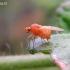 Lauxaniidae - Girinukė | Fotografijos autorius : Rasa Gražulevičiūtė | © Macrogamta.lt | Šis tinklapis priklauso bendruomenei kuri domisi makro fotografija ir fotografuoja gyvąjį makro pasaulį.