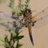 Keturtaškė skėtė - Libellula quadrimaculata | Fotografijos autorius : Gediminas Gražulevičius | © Macrogamta.lt | Šis tinklapis priklauso bendruomenei kuri domisi makro fotografija ir fotografuoja gyvąjį makro pasaulį.