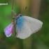 Callophrys rubi - Žalsvasis varinukas | Fotografijos autorius : Gediminas Gražulevičius | © Macrogamta.lt | Šis tinklapis priklauso bendruomenei kuri domisi makro fotografija ir fotografuoja gyvąjį makro pasaulį.