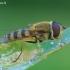 Syrphus vitripennis – Stiklasparnė žiedmusė | Fotografijos autorius : Gediminas Gražulevičius | © Macrogamta.lt | Šis tinklapis priklauso bendruomenei kuri domisi makro fotografija ir fotografuoja gyvąjį makro pasaulį.
