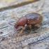 Barypeithes trichopterus - Aroninis straubliukas | Fotografijos autorius : Rasa Gražulevičiūtė | © Macrogamta.lt | Šis tinklapis priklauso bendruomenei kuri domisi makro fotografija ir fotografuoja gyvąjį makro pasaulį.