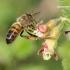 Apis mellifera - Naminė bitė | Fotografijos autorius : Gediminas Gražulevičius | © Macrogamta.lt | Šis tinklapis priklauso bendruomenei kuri domisi makro fotografija ir fotografuoja gyvąjį makro pasaulį.