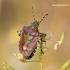 Dolycoris baccarum - Uoginė skydblakė | Fotografijos autorius : Rasa Gražulevičiūtė | © Macrogamta.lt | Šis tinklapis priklauso bendruomenei kuri domisi makro fotografija ir fotografuoja gyvąjį makro pasaulį.