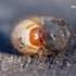 Melolontha melolontha - Paprastasis grambuolys | Fotografijos autorius : Rasa Gražulevičiūtė | © Macrogamta.lt | Šis tinklapis priklauso bendruomenei kuri domisi makro fotografija ir fotografuoja gyvąjį makro pasaulį.