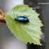 Mėlynasis alksniagraužis - Agelastica alni | Fotografijos autorius : Rasa Gražulevičiūtė | © Macrogamta.lt | Šis tinklapis priklauso bendruomenei kuri domisi makro fotografija ir fotografuoja gyvąjį makro pasaulį.
