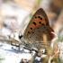 Lycaena phlaeas - Mažasis auksinukas | Fotografijos autorius : Gediminas Gražulevičius | © Macrogamta.lt | Šis tinklapis priklauso bendruomenei kuri domisi makro fotografija ir fotografuoja gyvąjį makro pasaulį.