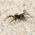 Pardosa sp. - Šuolininkas | Fotografijos autorius : Gediminas Gražulevičius | © Macrogamta.lt | Šis tinklapis priklauso bendruomenei kuri domisi makro fotografija ir fotografuoja gyvąjį makro pasaulį.