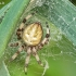 Keturdėmis kryžiuotis - Araneus quadratus | Fotografijos autorius : Armandas Kazlauskas | © Macrogamta.lt | Šis tinklapis priklauso bendruomenei kuri domisi makro fotografija ir fotografuoja gyvąjį makro pasaulį.