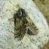 Skaidriasparnis šeriasprindis - Lycia pomonaria | Fotografijos autorius : Vitalijus Bačianskas | © Macrogamta.lt | Šis tinklapis priklauso bendruomenei kuri domisi makro fotografija ir fotografuoja gyvąjį makro pasaulį.