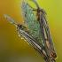 Brūkšniuotoji meškutė - Spiris striata | Fotografijos autorius : Aivaras Markauskas | © Macrogamta.lt | Šis tinklapis priklauso bendruomenei kuri domisi makro fotografija ir fotografuoja gyvąjį makro pasaulį.