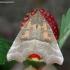 Gluosninis žieminukas - Scoliopteryx libatrix | Fotografijos autorius : Žydrūnas Daunoravičius | © Macrogamta.lt | Šis tinklapis priklauso bendruomenei kuri domisi makro fotografija ir fotografuoja gyvąjį makro pasaulį.