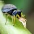 Geltonkojis žėrūnas - Heliophanus flavipes | Fotografijos autorius : Oskaras Venckus | © Macrogamta.lt | Šis tinklapis priklauso bendruomenei kuri domisi makro fotografija ir fotografuoja gyvąjį makro pasaulį.