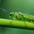 Žaliasis pjūklelis - Rhogogaster viridis  | Fotografijos autorius : Oskaras Venckus | © Macrogamta.lt | Šis tinklapis priklauso bendruomenei kuri domisi makro fotografija ir fotografuoja gyvąjį makro pasaulį.