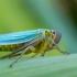 Žalioji cikadelė - Cicadella viridis | Fotografijos autorius : Oskaras Venckus | © Macrogamta.lt | Šis tinklapis priklauso bendruomenei kuri domisi makro fotografija ir fotografuoja gyvąjį makro pasaulį.