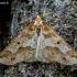 Didysis žiemsprindis - Erannis defoliaria    Fotografijos autorius : Oskaras Venckus   © Macrogamta.lt   Šis tinklapis priklauso bendruomenei kuri domisi makro fotografija ir fotografuoja gyvąjį makro pasaulį.