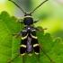 Drebulinis raštenis - Clytus arietis  | Fotografijos autorius : Oskaras Venckus | © Macrogamta.lt | Šis tinklapis priklauso bendruomenei kuri domisi makro fotografija ir fotografuoja gyvąjį makro pasaulį.