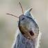 Dvispalvė skydblakė - Piezodorus lituratus, nimfa | Fotografijos autorius : Oskaras Venckus | © Macrogamta.lt | Šis tinklapis priklauso bendruomenei kuri domisi makro fotografija ir fotografuoja gyvąjį makro pasaulį.